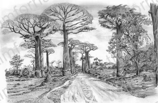 Baobab blvd malaysia landscape pencil drawing l003